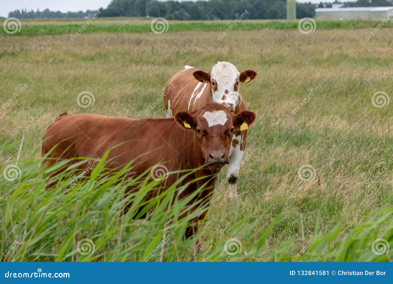 Kor på betar i Tyskland