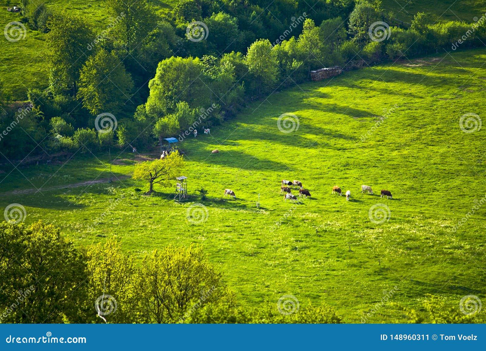 Kor p? ett idylliskt berg betar i Bayern