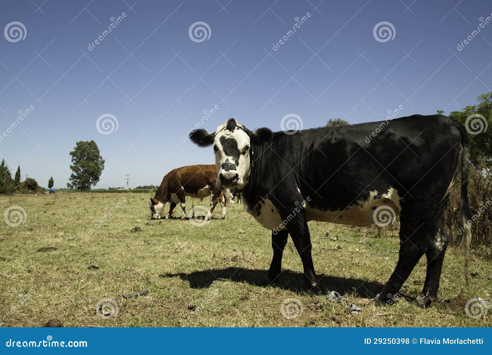 Kor på prärie