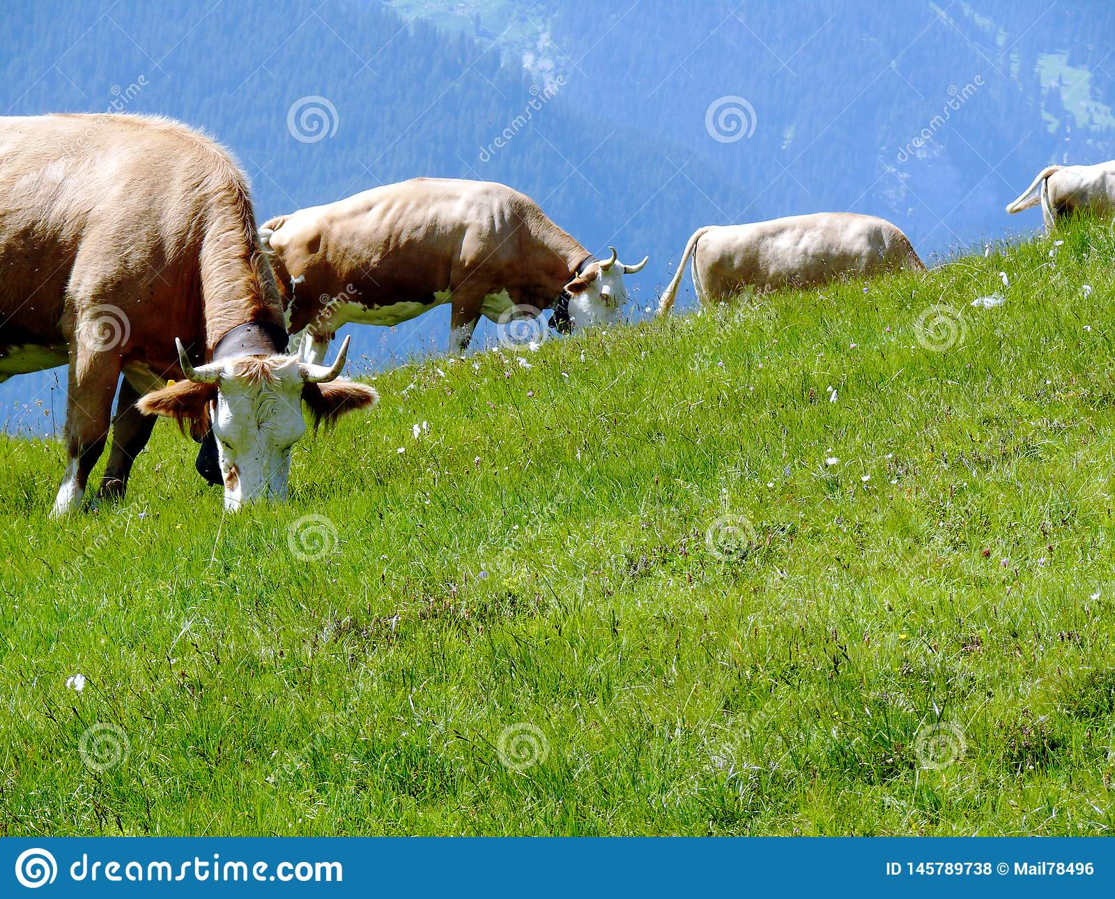 Kor som betar p? en gr?n kulle