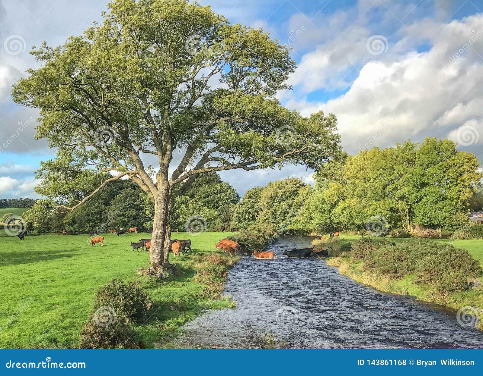 Kor som korsar floden