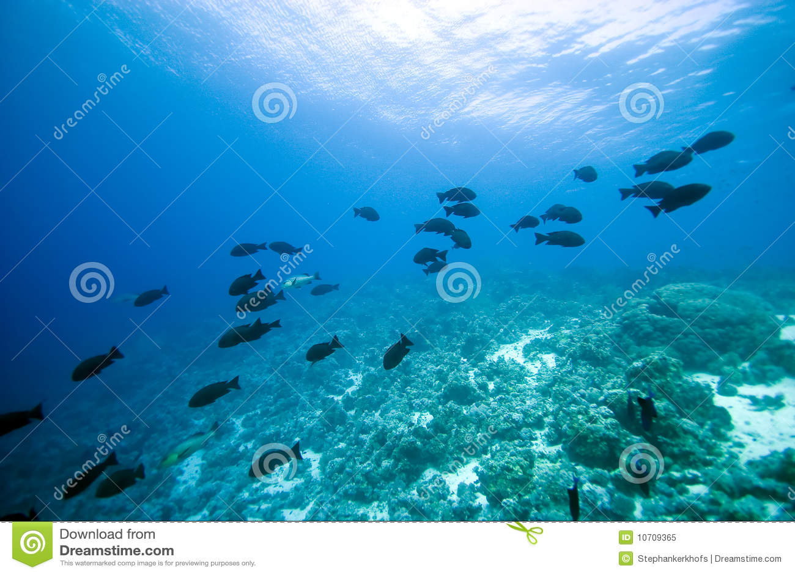 Koral ryba
