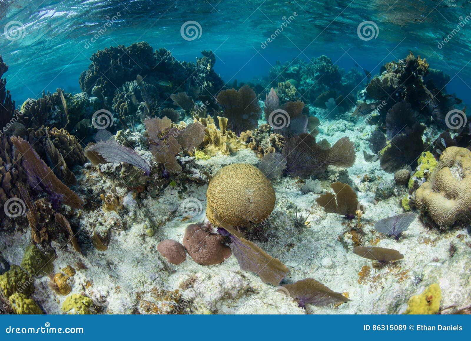 Koralen die op Ondiepe Caraïbische Ertsader groeien