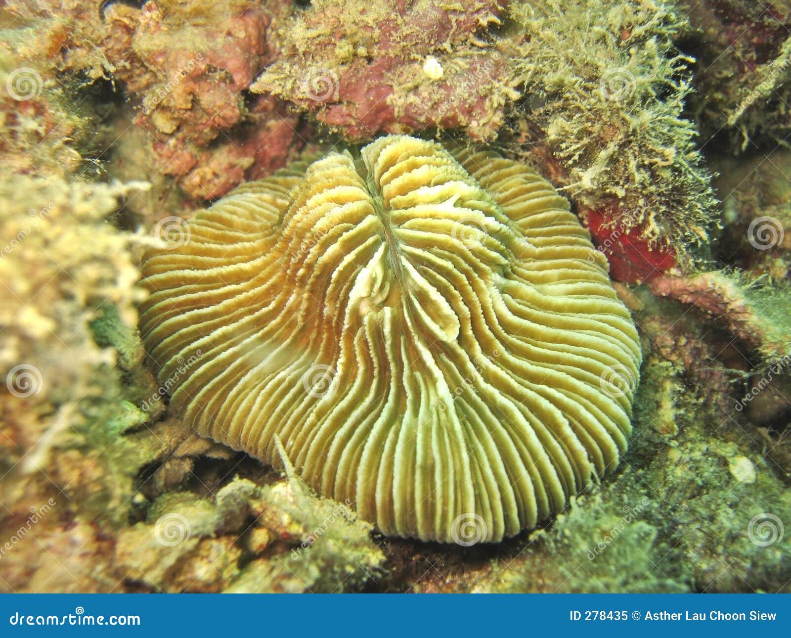 Korallchampinjon