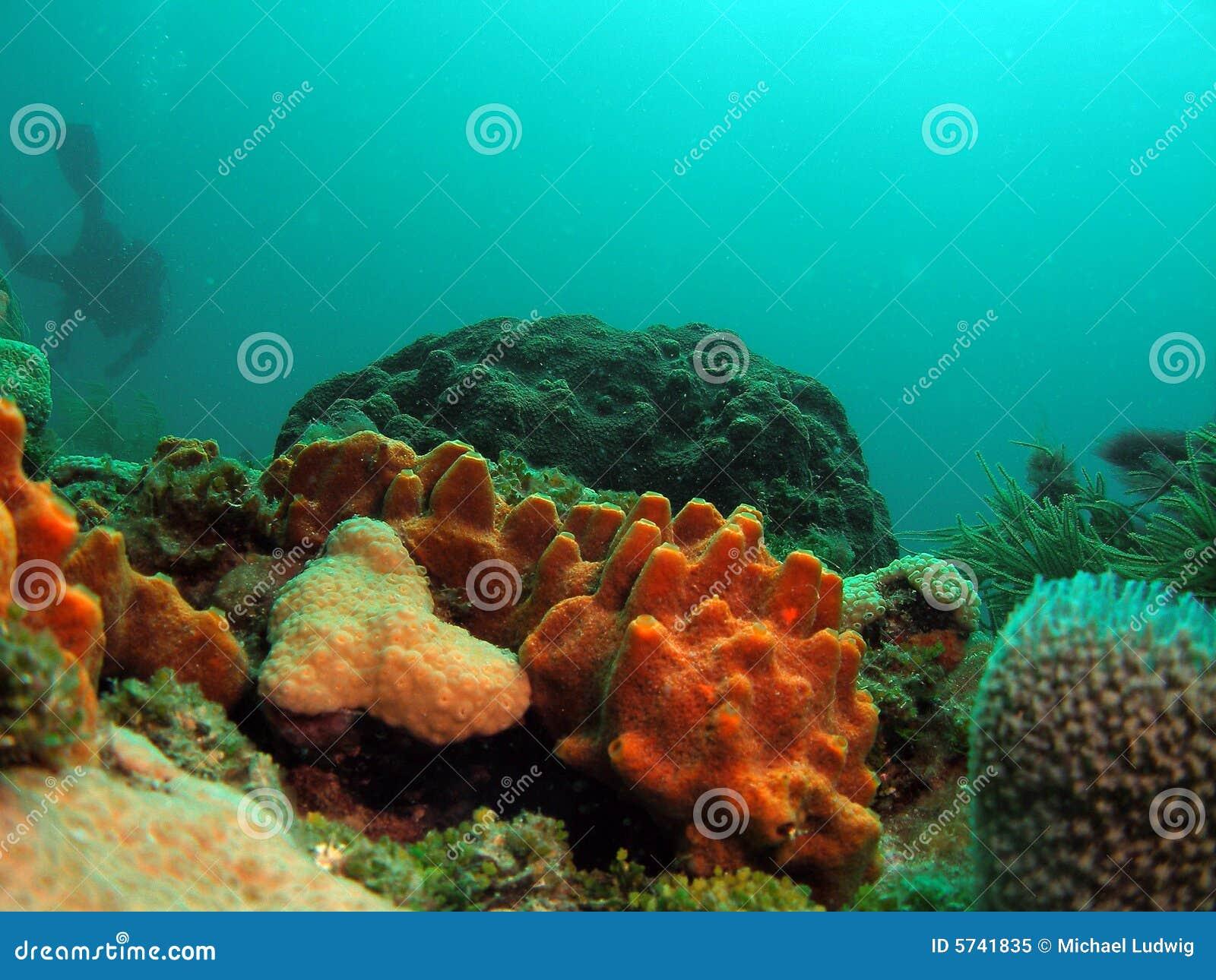 Koralldykareorange