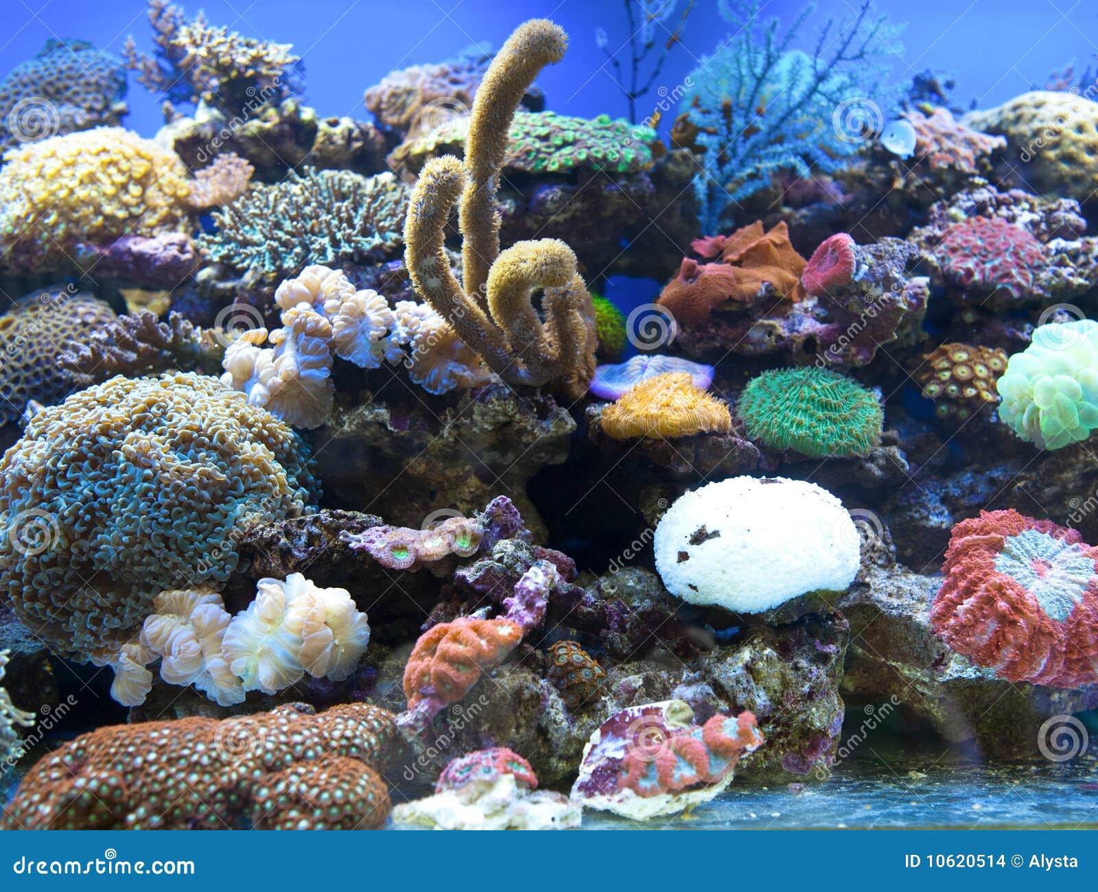 Koralle ist salzwasser aquarium stockbilder bild 10620514 for Salzwasser aquarium