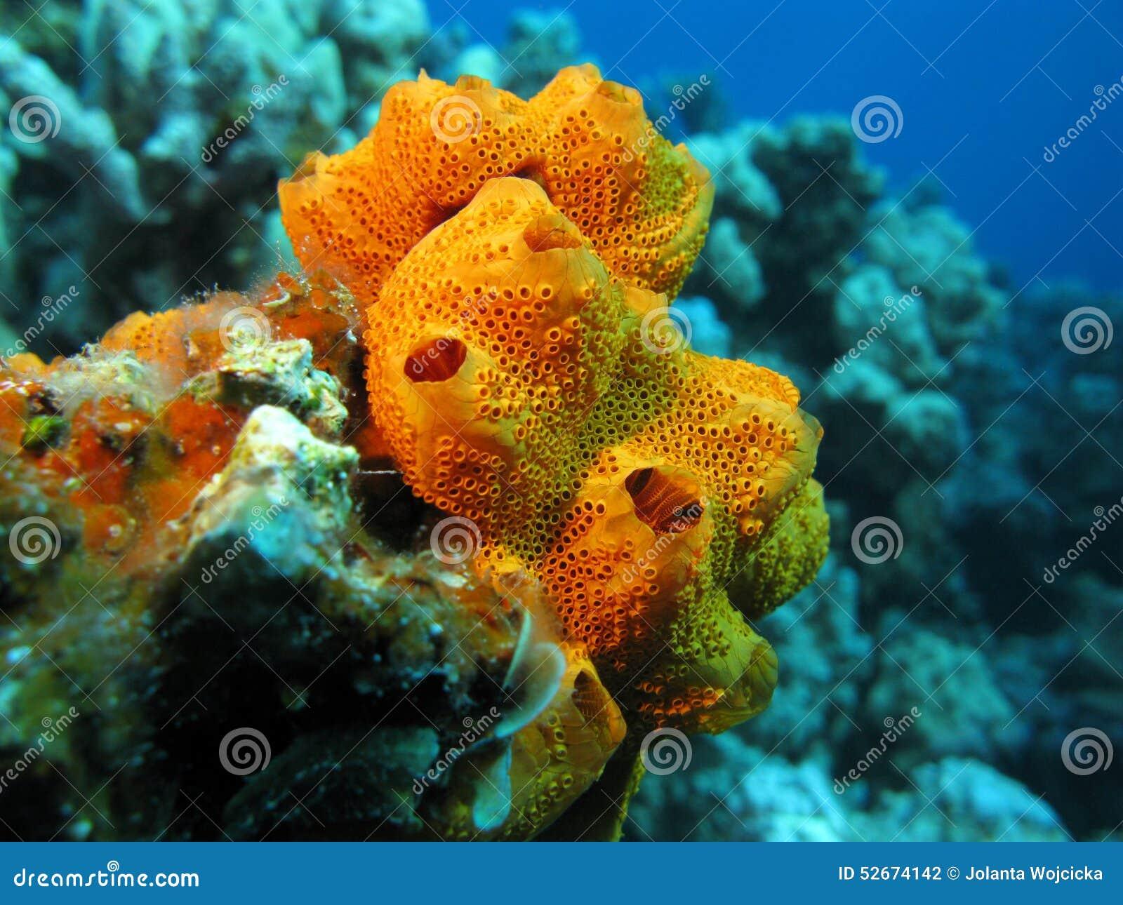 Korallenriff mit dem schönen großen orange Seeschwamm, Unterwasser