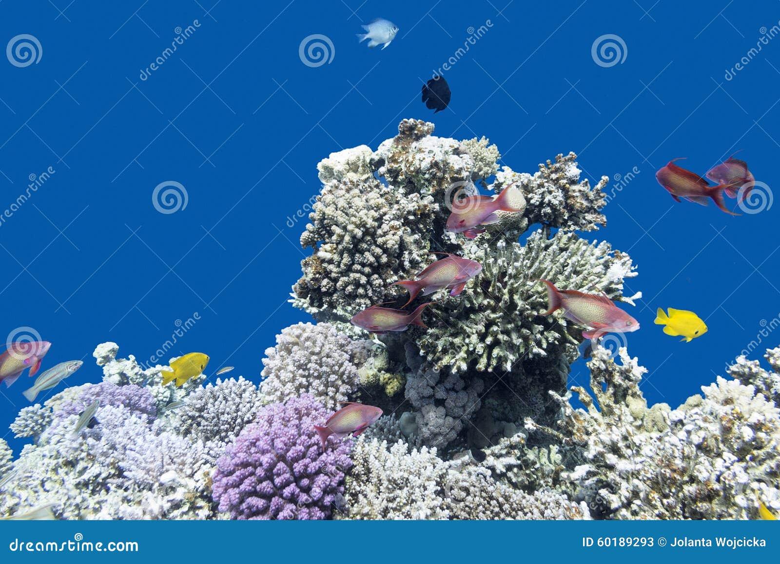 korallenriff mit fischen anthias im tropischen meer