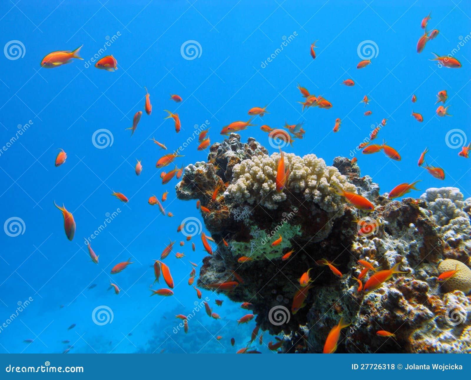 Korallenriff mit harten Korallen und exotischem Fische anth