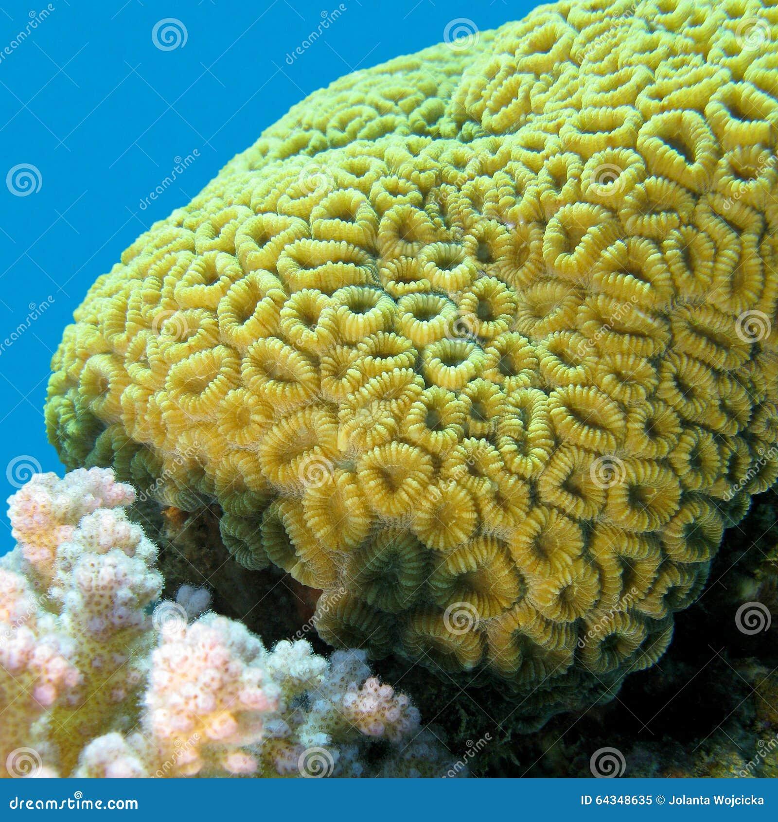 korallenriff mit tropischem meer gehirnkoralle inf