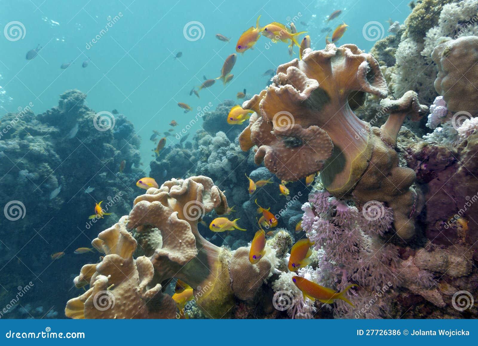 Korallenriff mit weichen Korallen und exotischen Fischen Anth