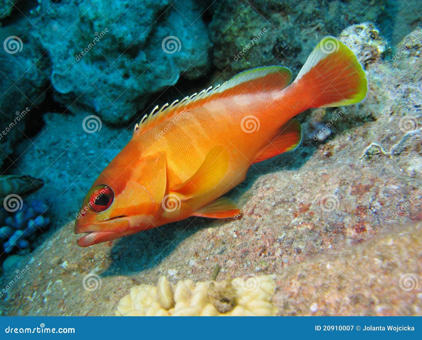 Korallenriff und orange Fische