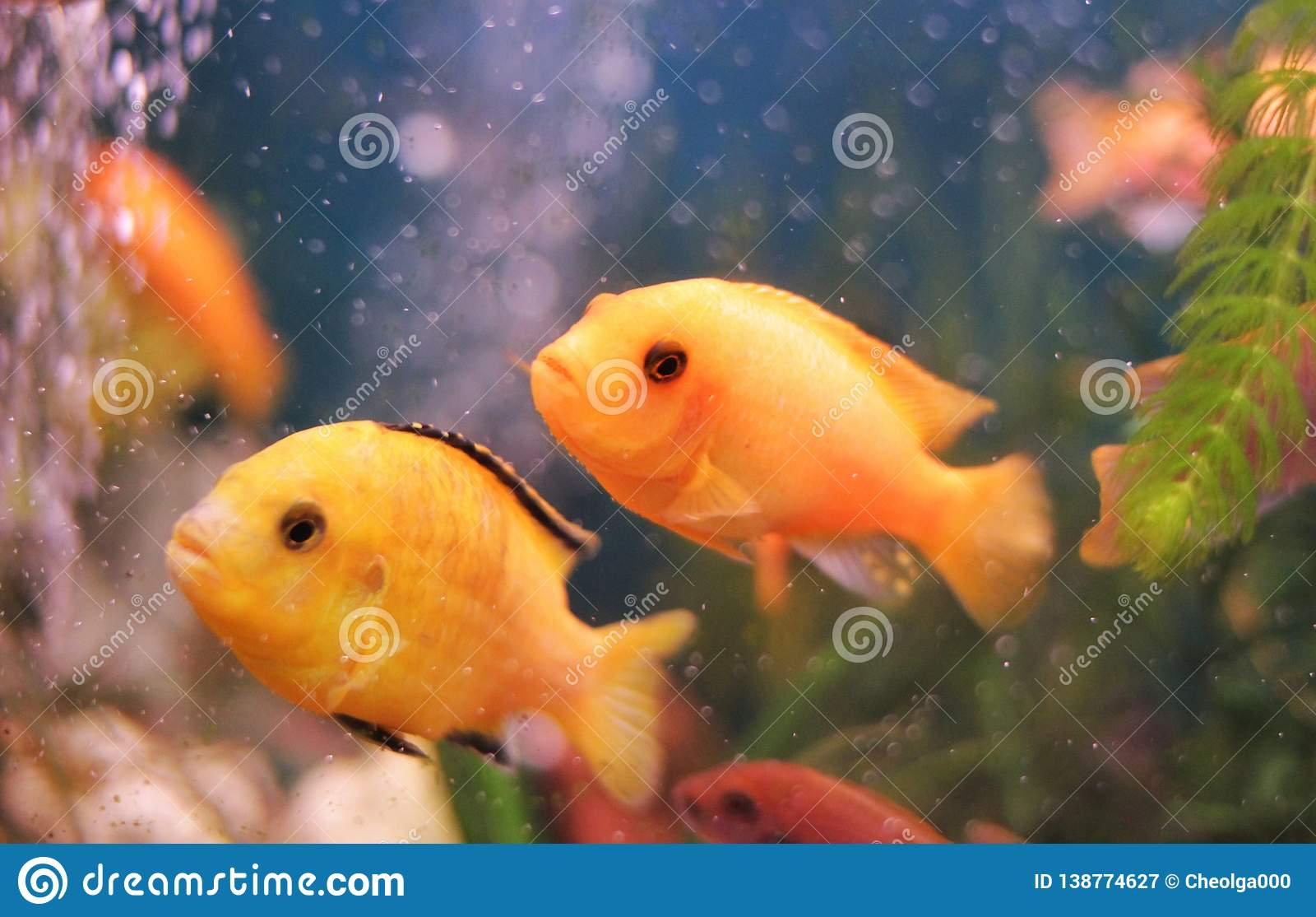 Korallenriff, zwei Fische im Wasser, rote, goldene Fische