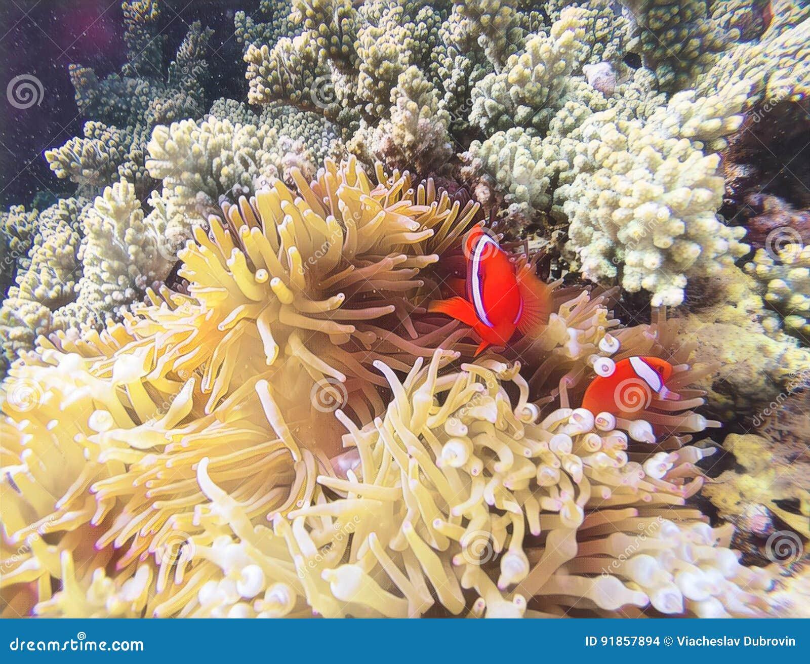Korallfisk i digital illustration för blek actinia Orange clownfish i gul actinia