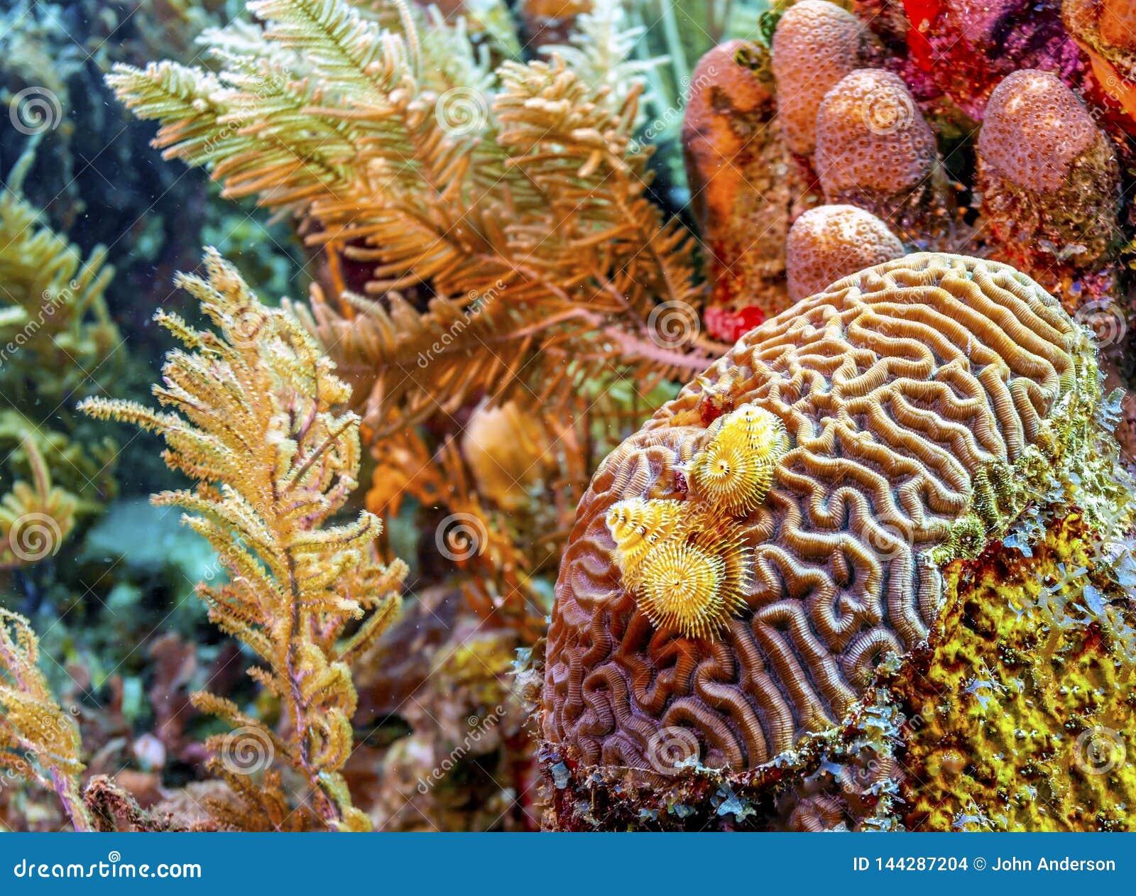 Koralltr?dg?rd i karibiskt