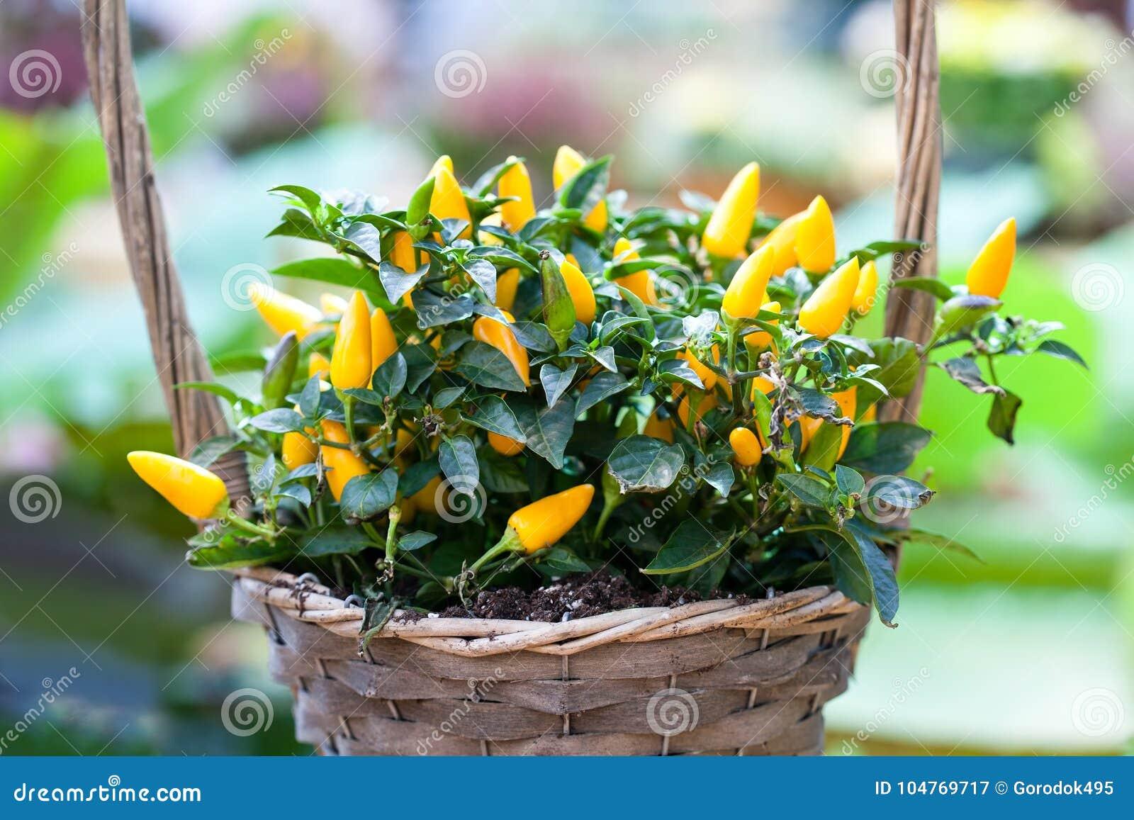 Korg för blomma för gulingpepparväxt Härligt färgrikt dekorativt grönt fotografi för selektiv fokus för bladgrönsaker