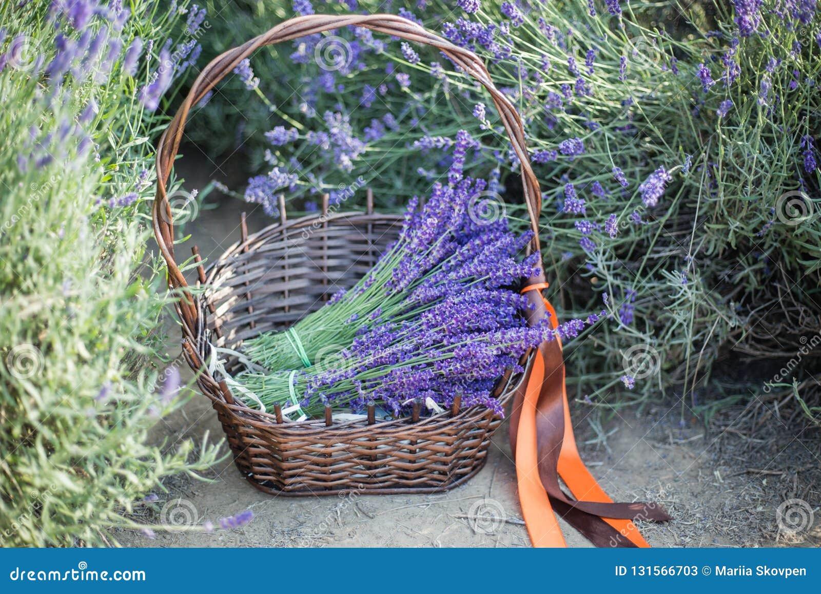 Korg med en lavendel och tappningsax, Provence, Frankrike
