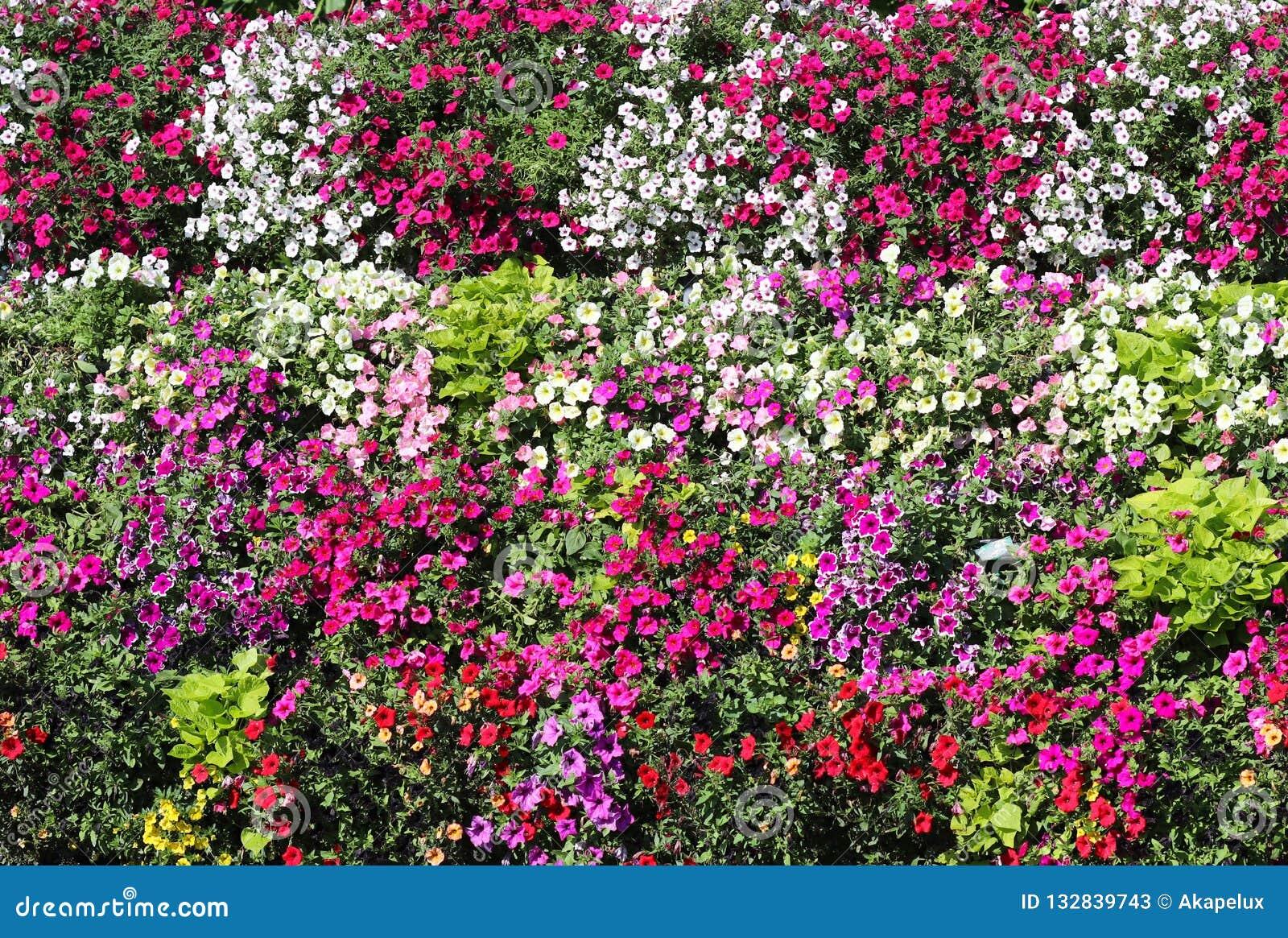 Korgar av hängande petuniablommor på balkong Petuniablomma i dekorativ växt Violetta balkongblommor i krukor Bakgrund från