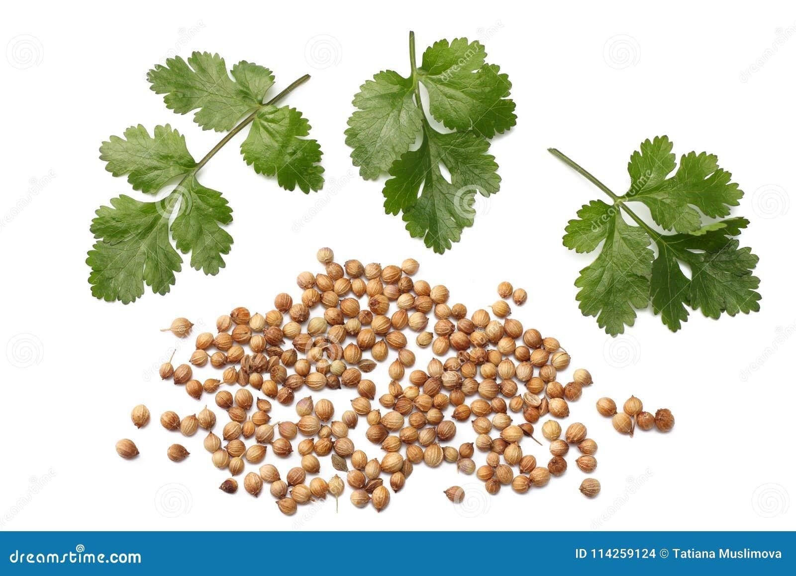 Korianderbladeren en zaden op witte hoogste mening worden geïsoleerd die als achtergrond