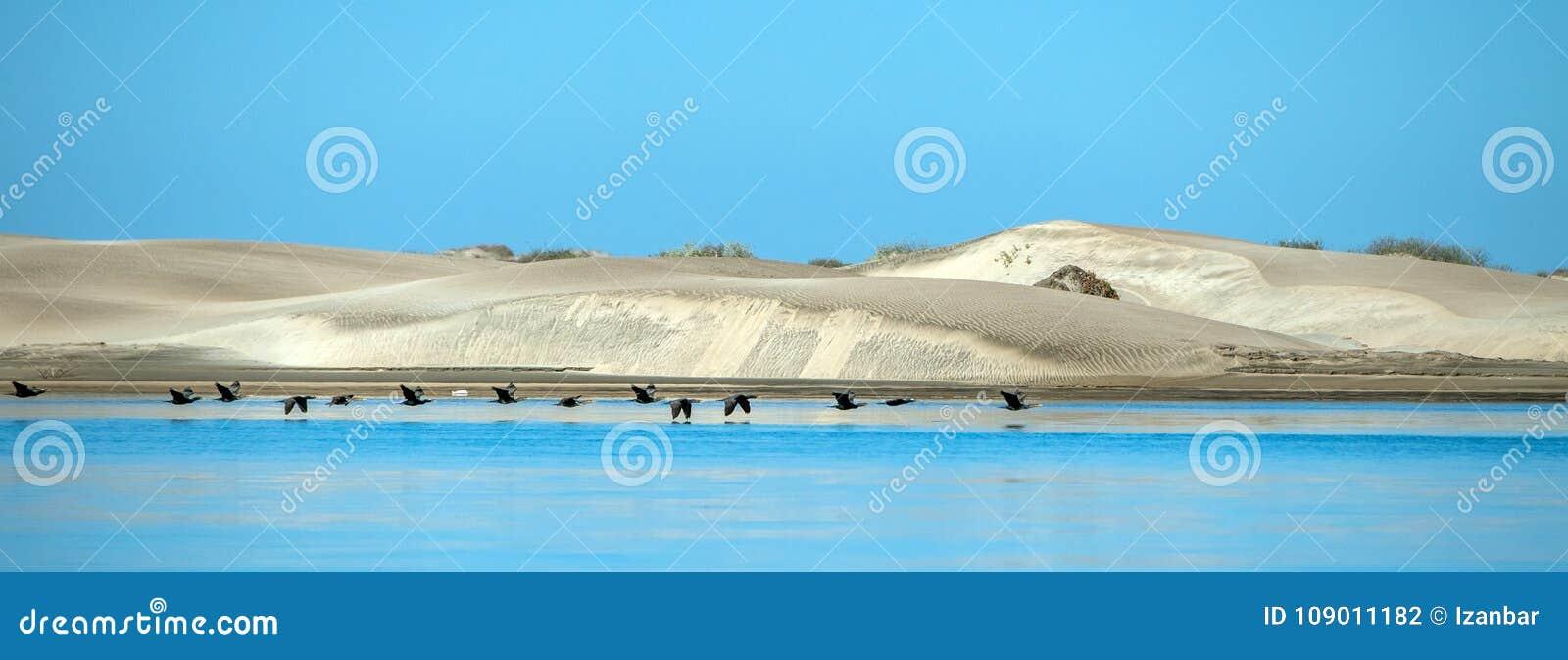 Kormoranvögel setzen Sanddünen in Kalifornien Magdalena Bay Mexiko auf den Strand
