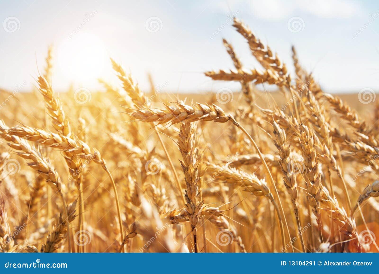 Korn auf einem Bauernhofgebiet und -sonne