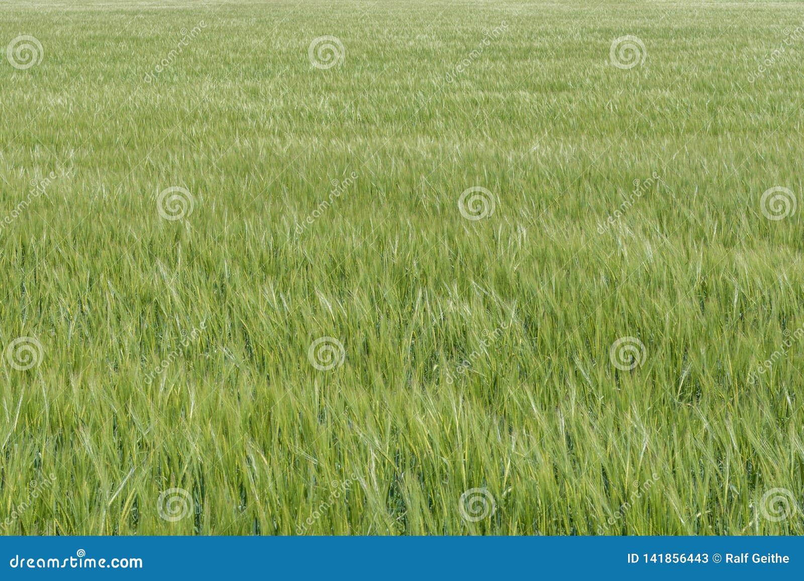 Kornfält i den mognande processen