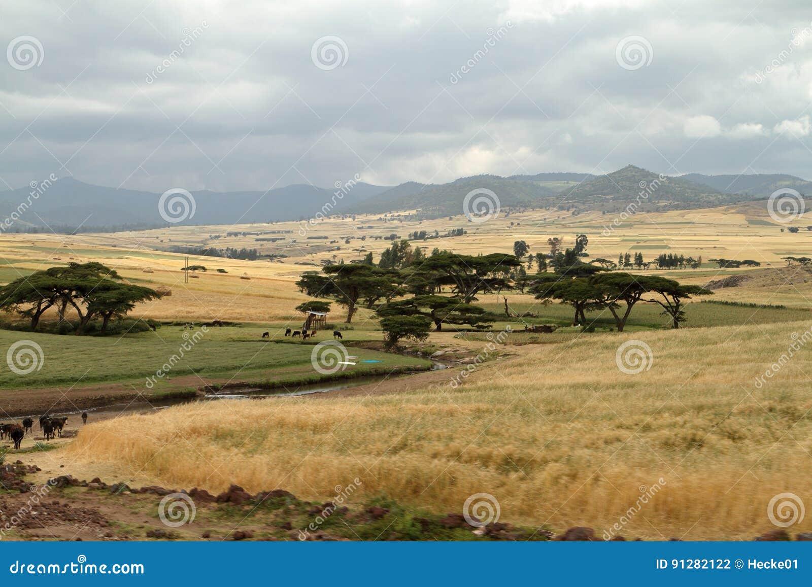 Kornfält och landskap i balbergen av Etiopien