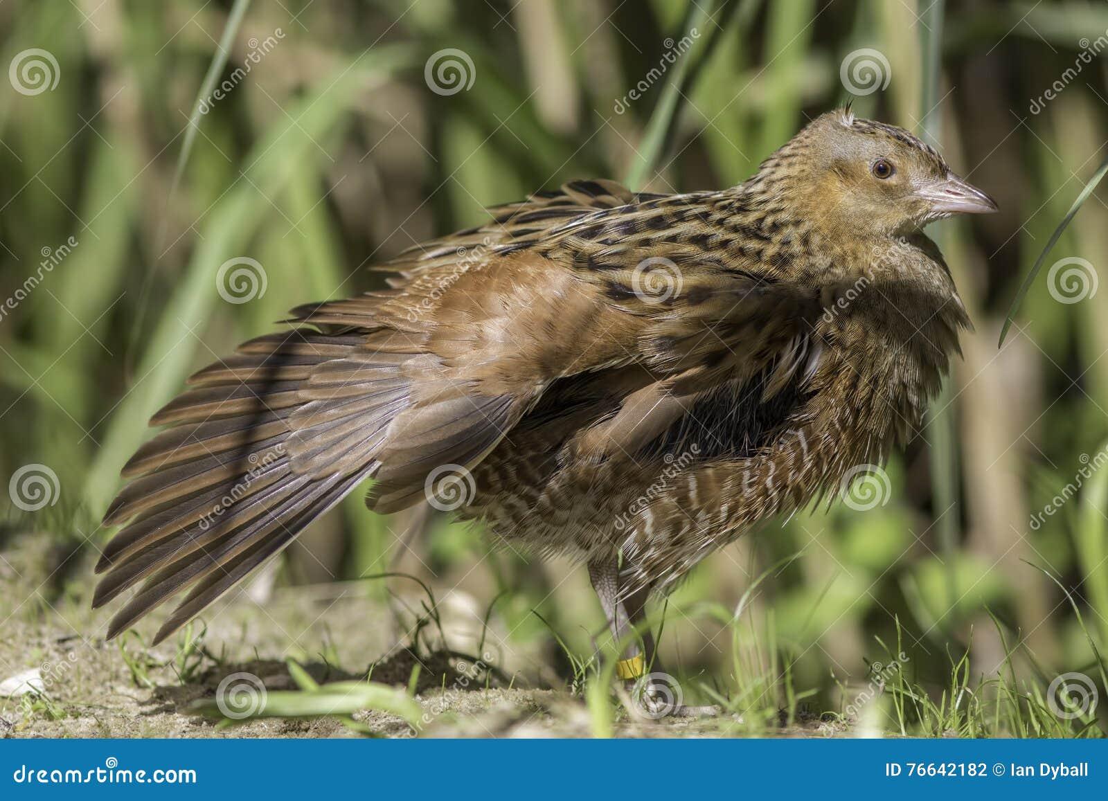Kornknarrfågel med den utsträckta vingen