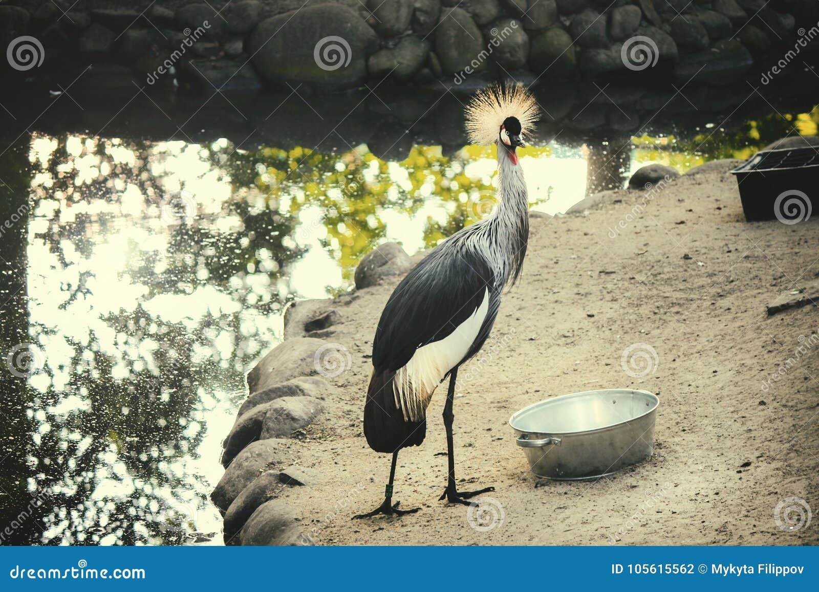 Koronowany żurawia zoo