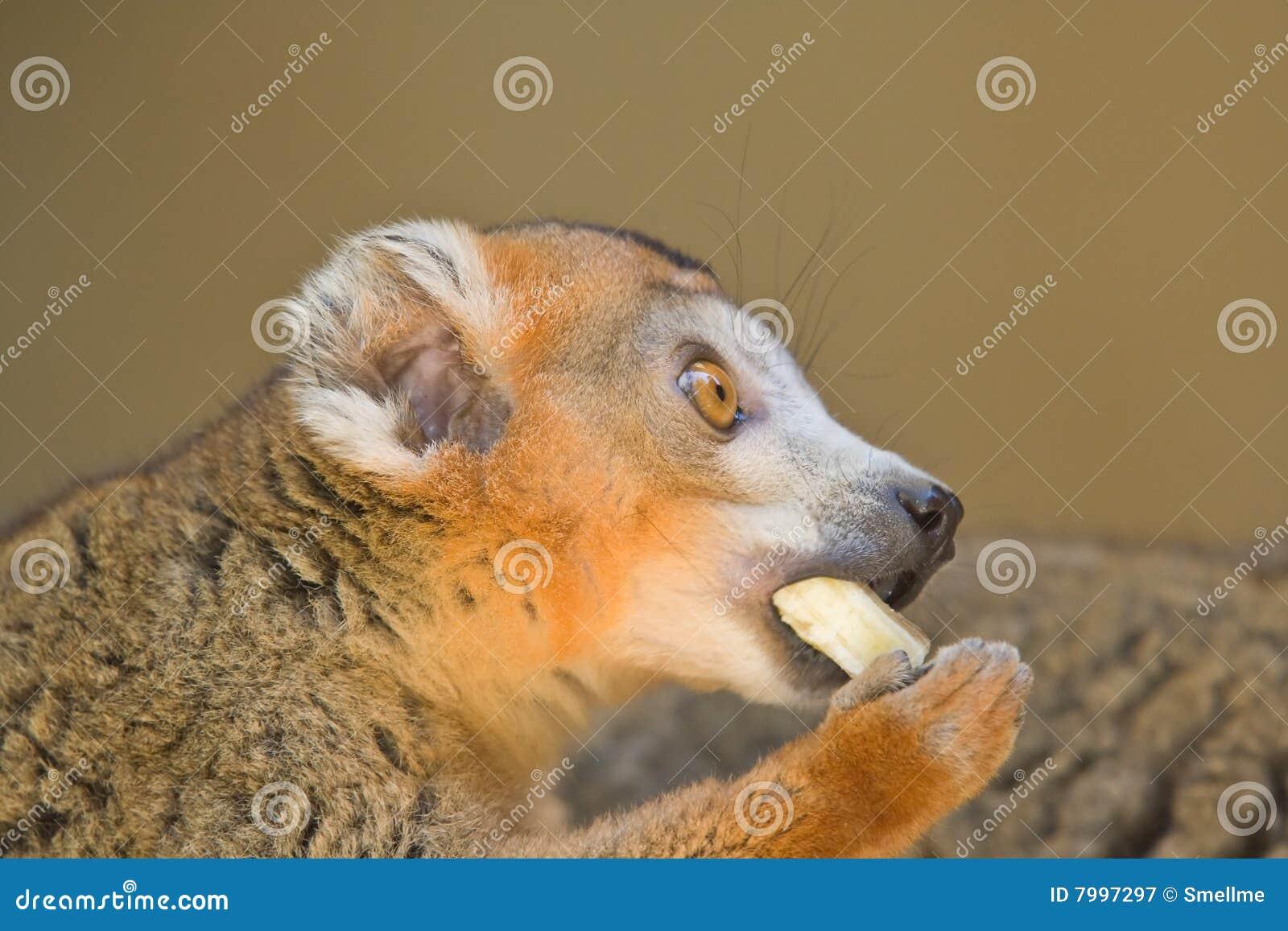Koronowany lemur
