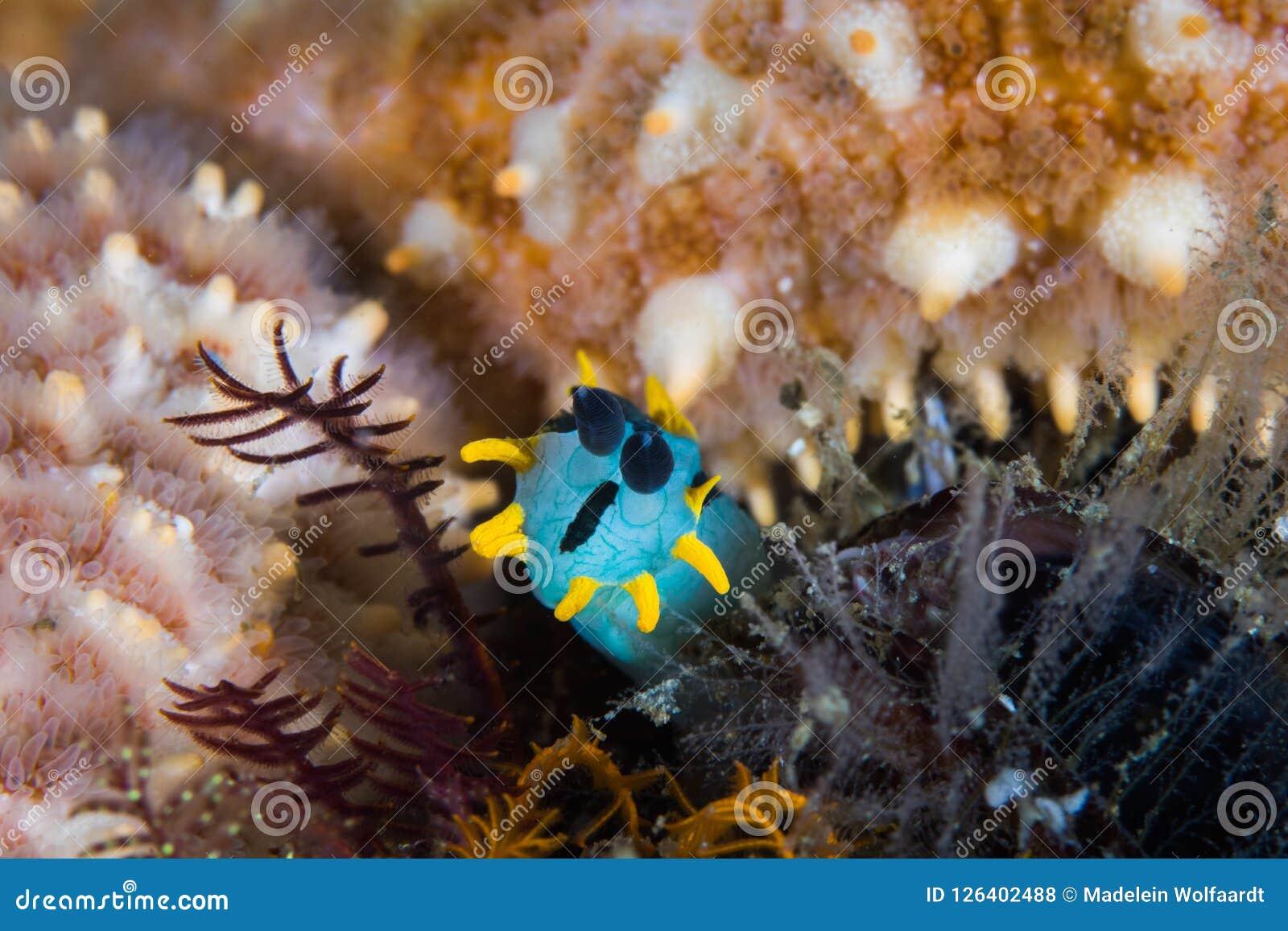Koronowany nudibranch Polycera capensis podwodny