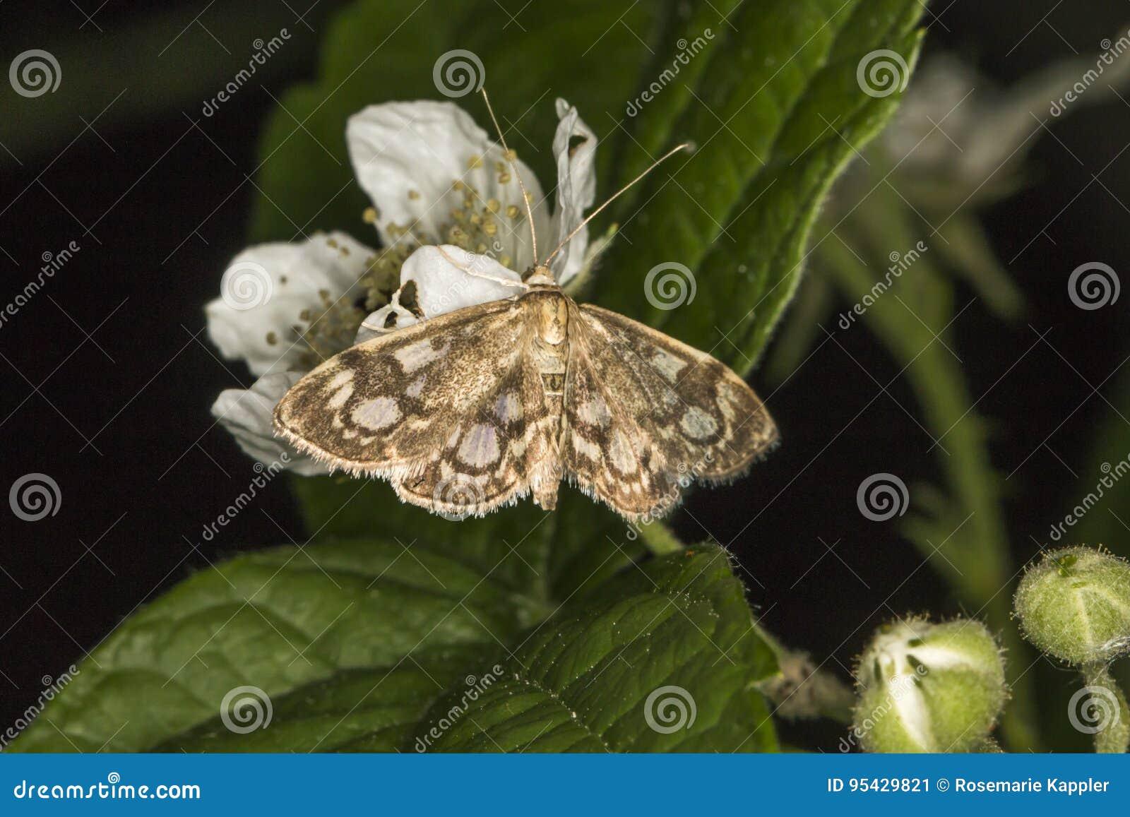Koronowany phlyctaenia ćma Anania coronata