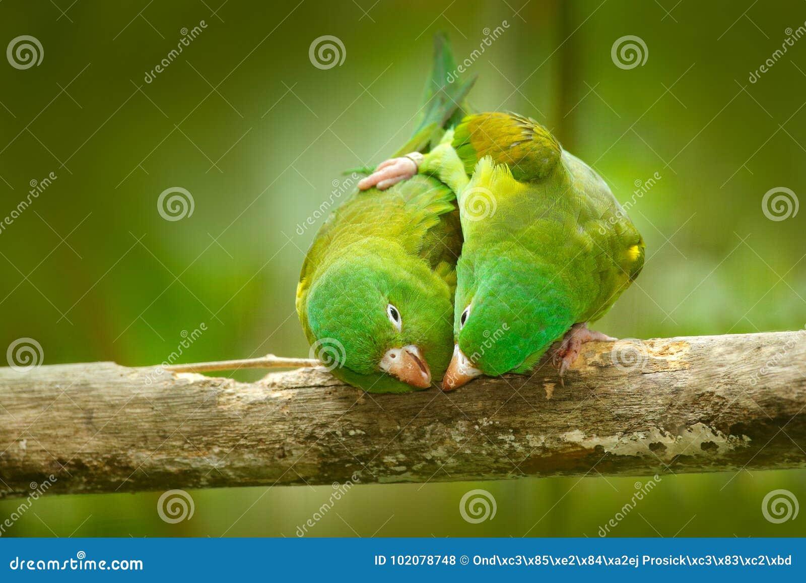 Koronująca amazonka, Amazona ochrocephala auropalliata, para zielona papuga, siedzi na gałąź, koperczaki miłości ceremonia, Co