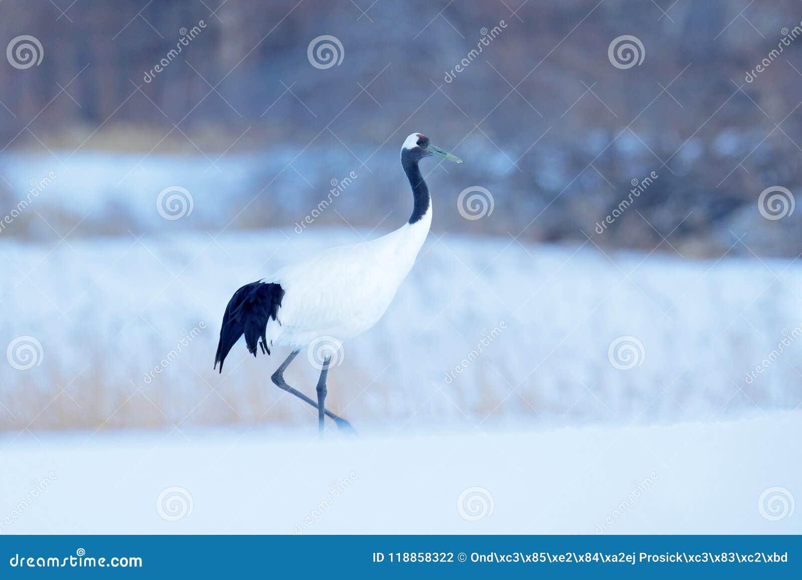 Koronujący żuraw, Grus japonensis, chodzi w śniegu, hokkaido, Japonia Piękny ptak w natury siedlisku Przyrody scena dla