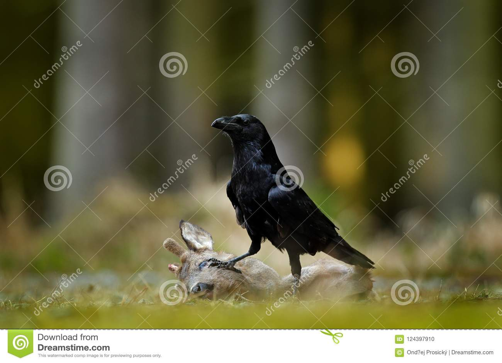 Korpsvart med den döda europén Roe Deer, kadaver i skogsvartfågeln med huvudet på skogvägen Djur behavir, matande sce