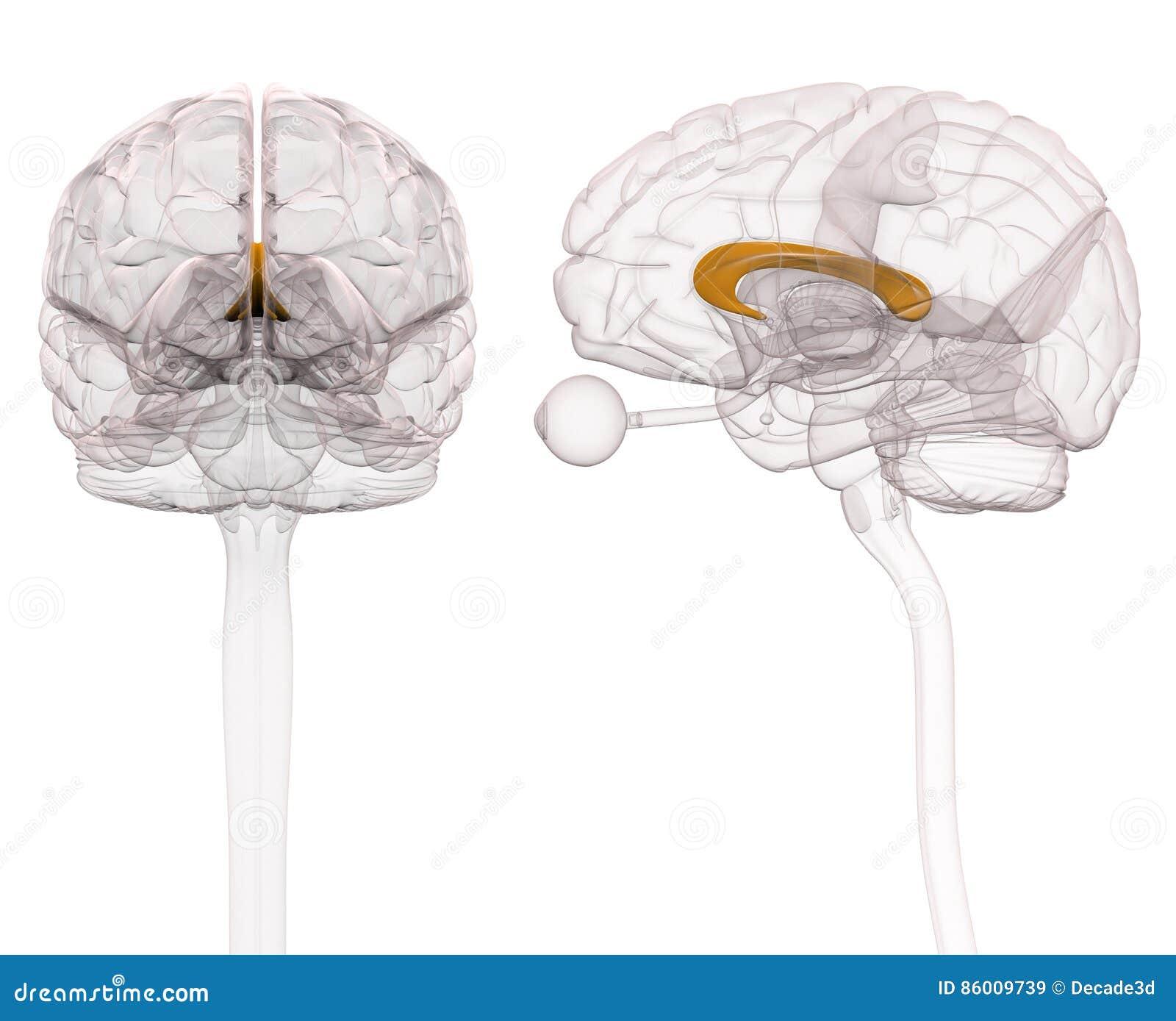 Korpus Callosum Brain Anatomy Illustration 3d Stock Abbildung