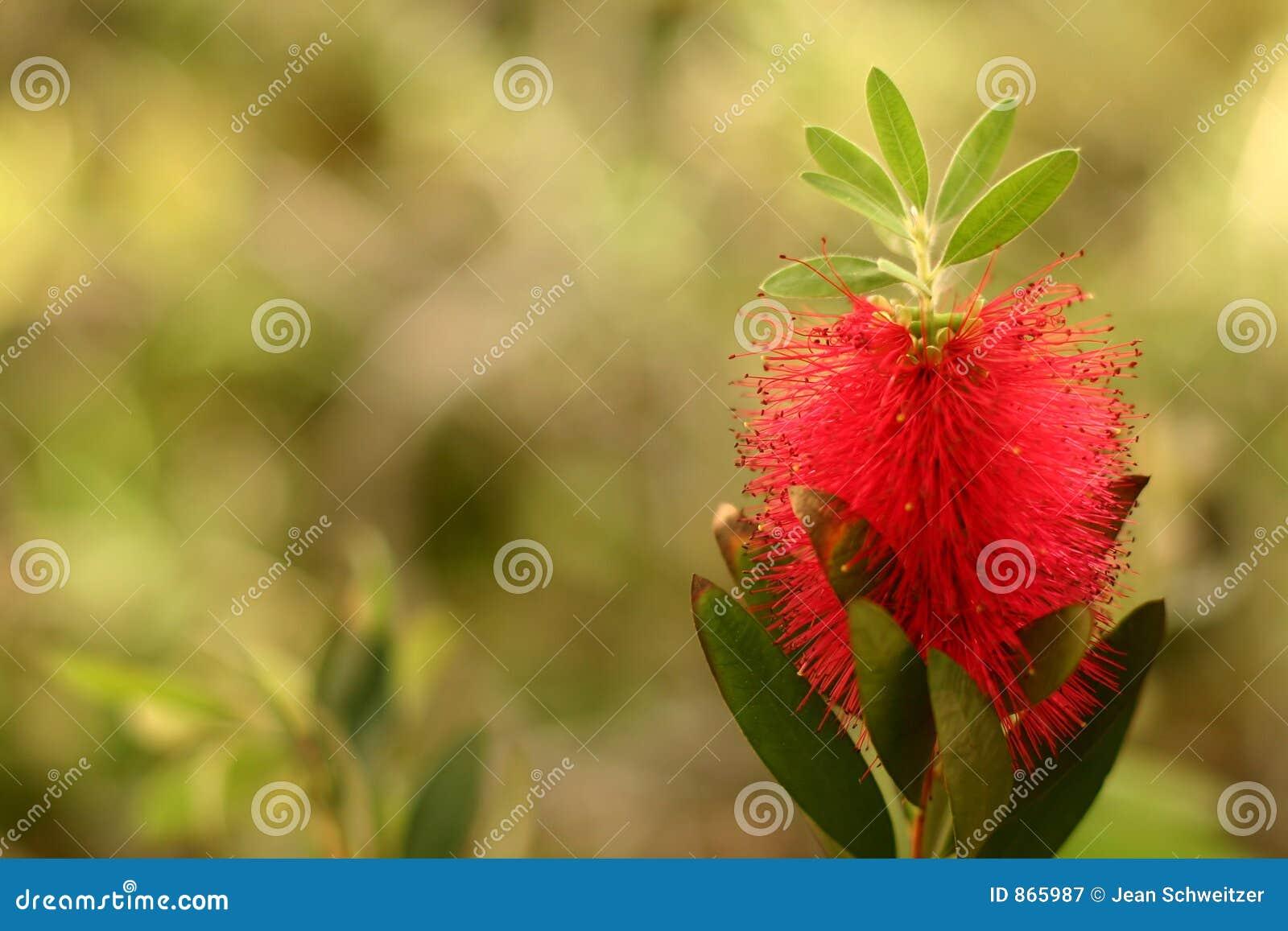 Korsische Blumennahaufnahme