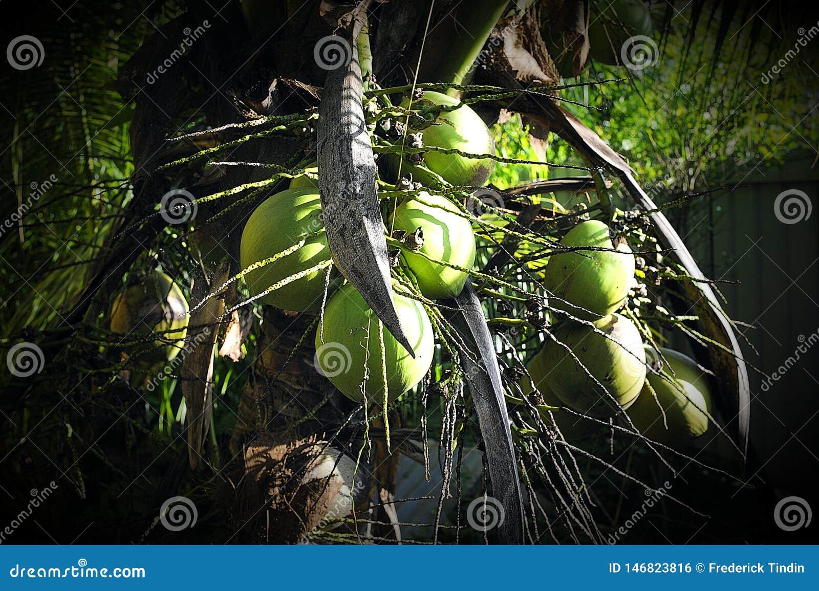 Kort kokospalm på min trädgård