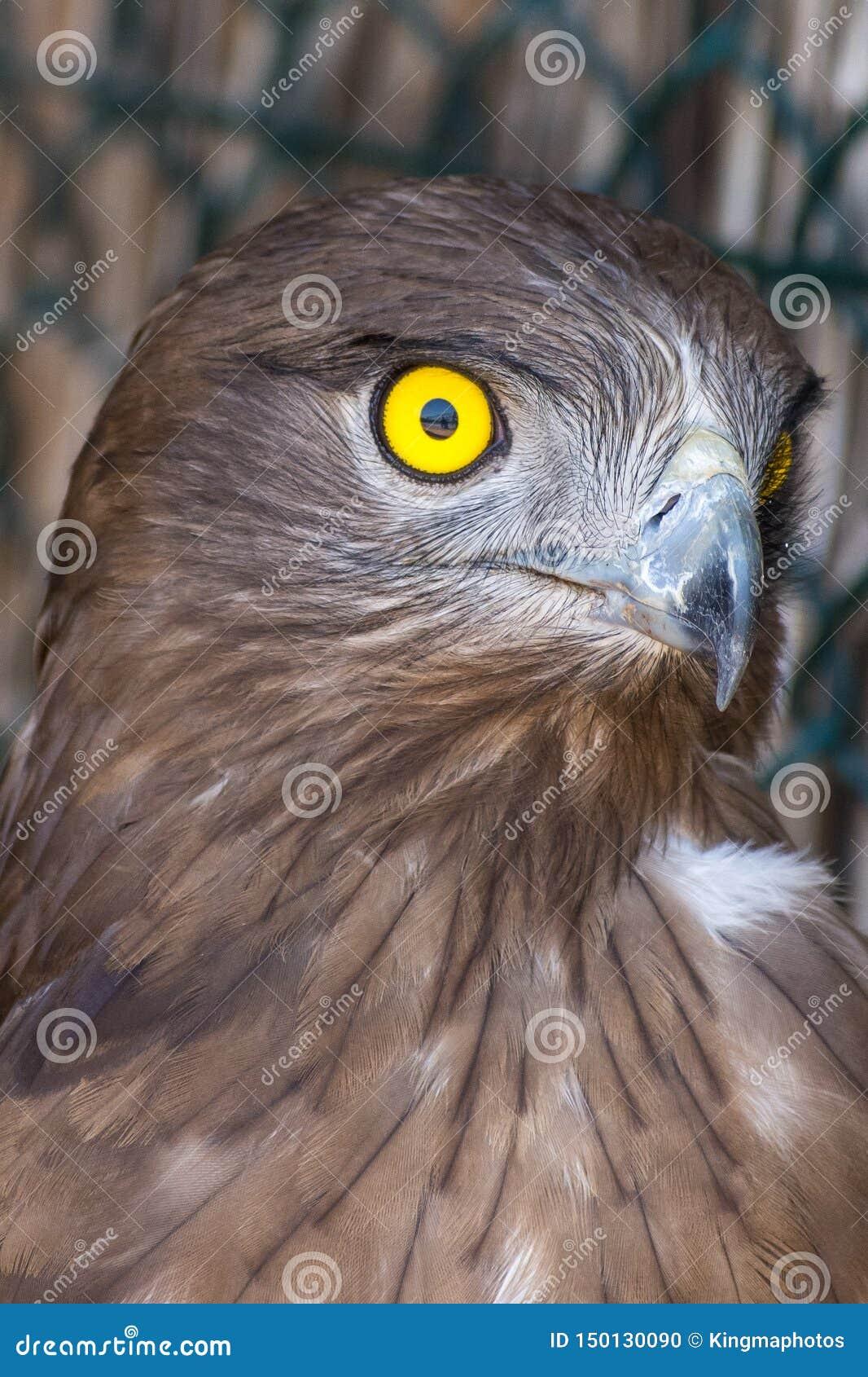 Kort-toed gallicus van Circaetus van de slangadelaar, ook gekend als kort-toed adelaars dicht omhoog met pronkend kernachtig, dui