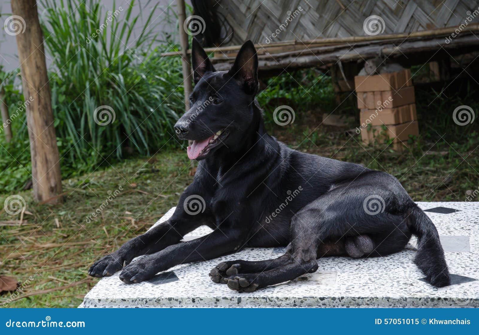 Korte haar zwarte hond