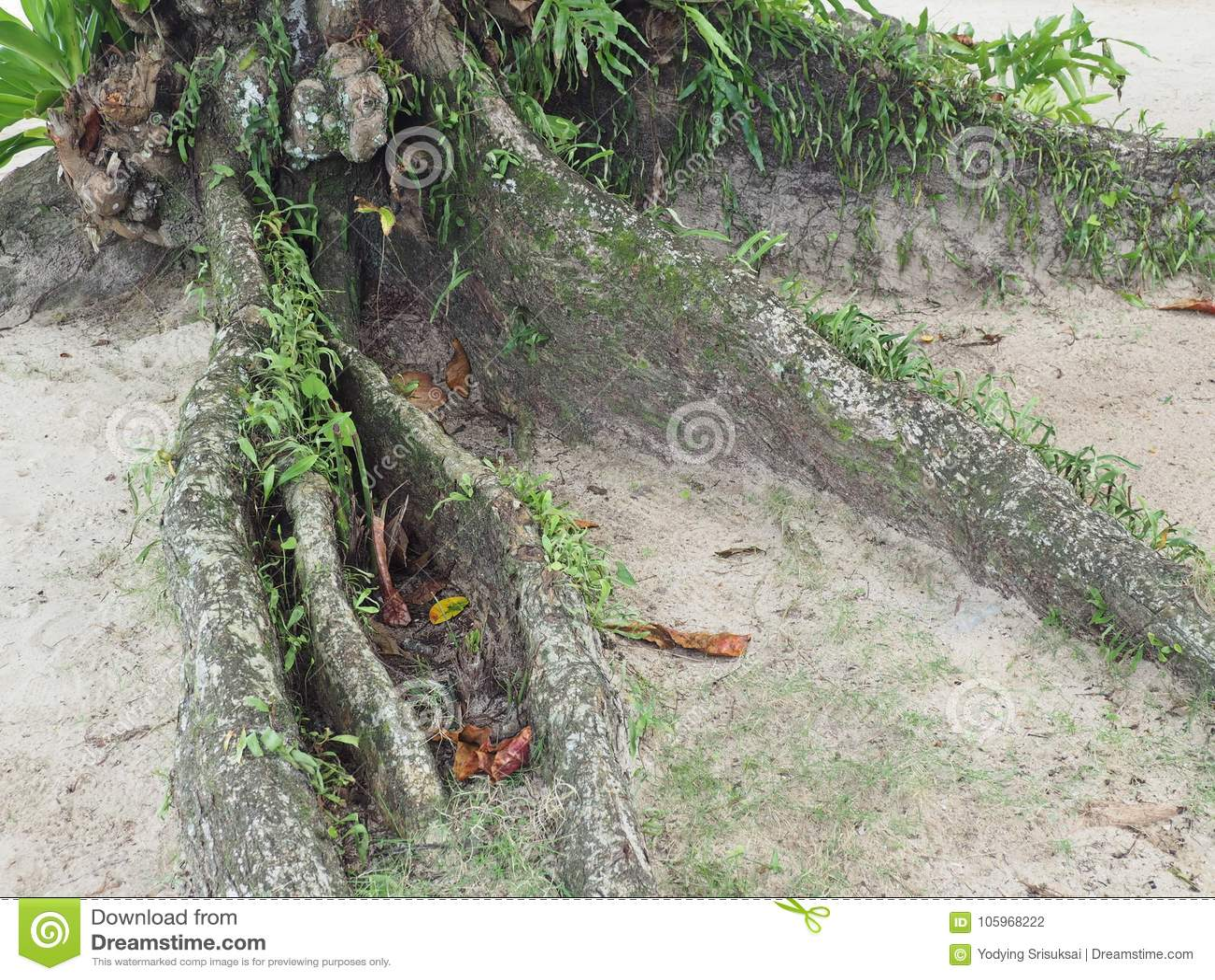 Korzeniowy drzewo na plaży