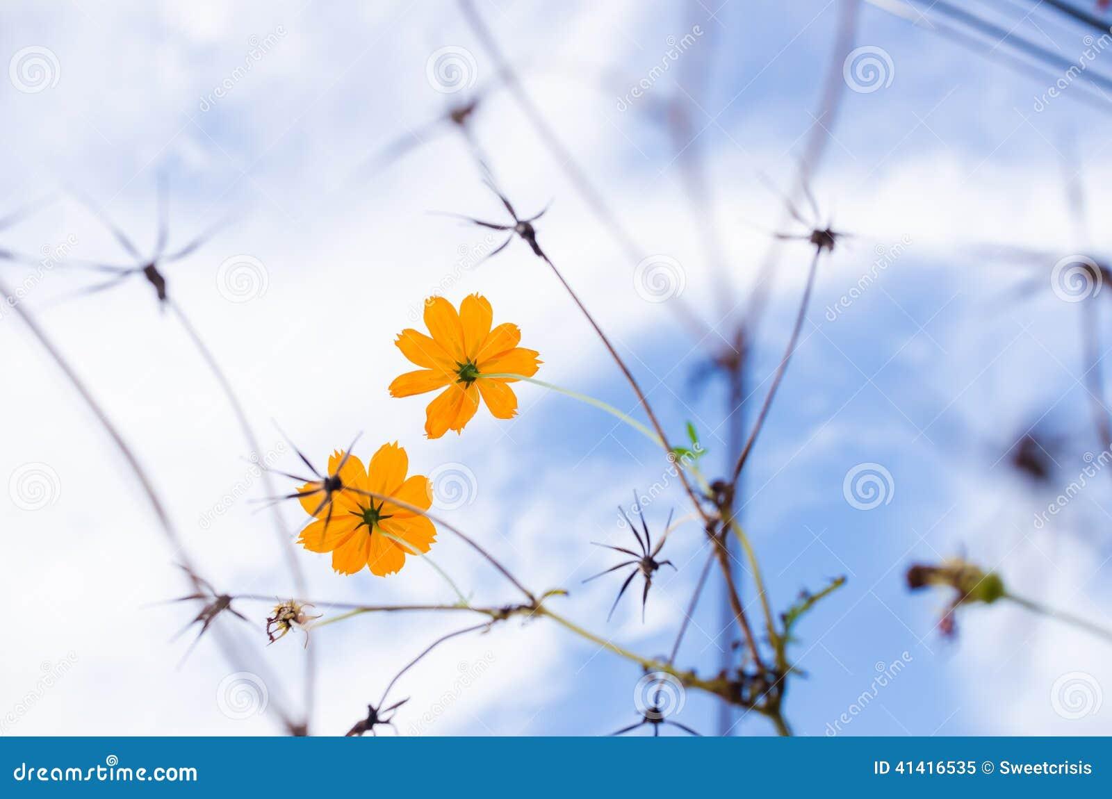 Kosmos blommar yellow