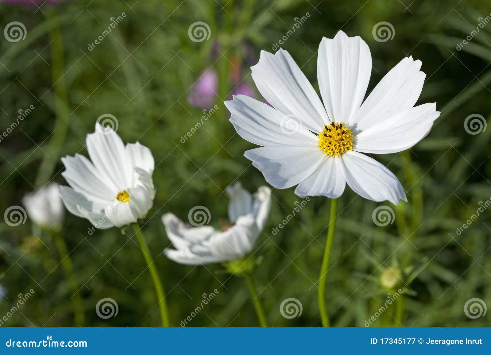 Kosmos-Blumen