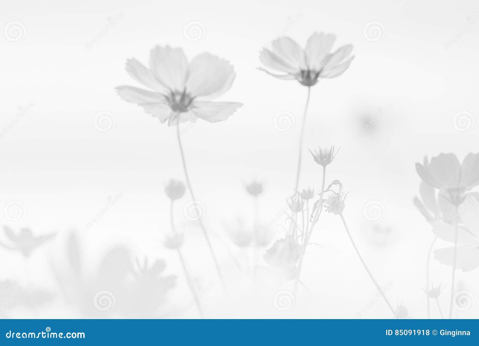 Kosmos-Blumen-Hintergrund