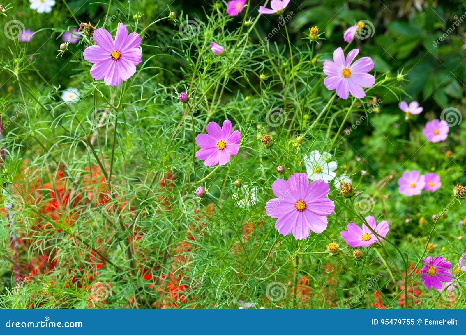 Kosmos kwitnie na flowerbed