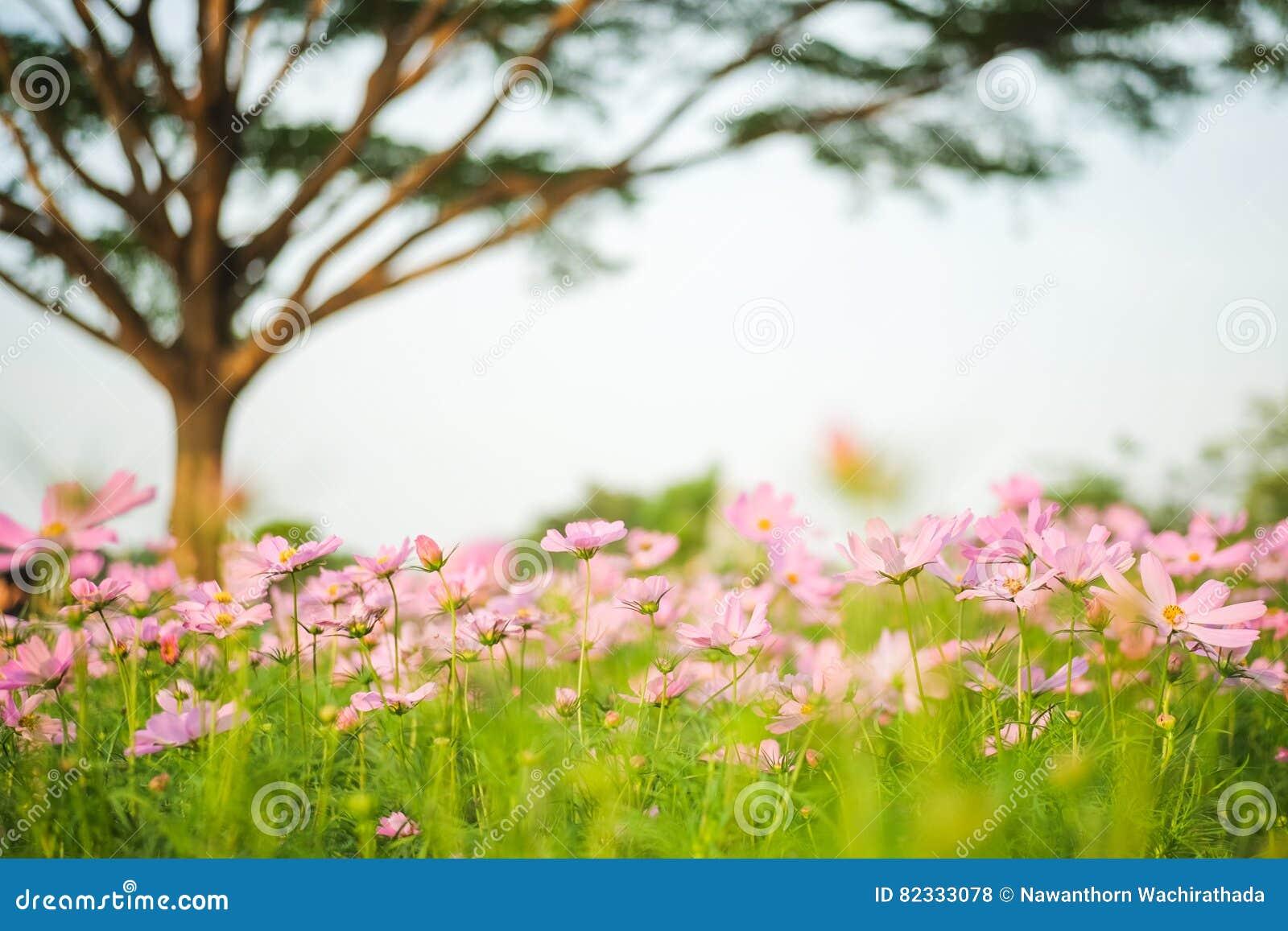 Kosmosbipinnatusen blommar att blomma i trädgården med trädet