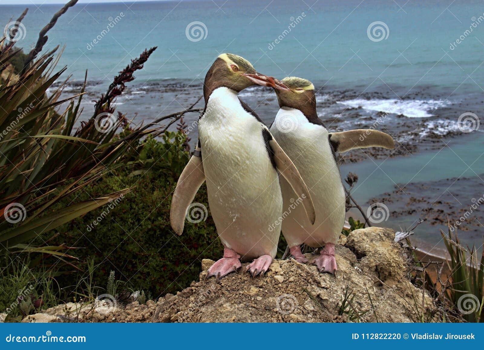 Kostbaarste pinguïn die, geel-Eyed pinguïn, Megadyptes-antipodes, Nieuw Zeeland leven