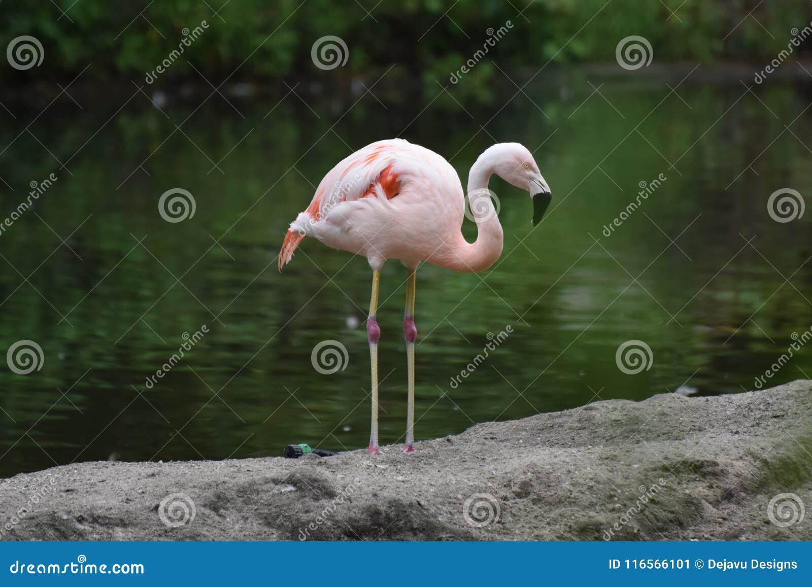 Kostbare Roze Chileense Flamingo in een Vijver