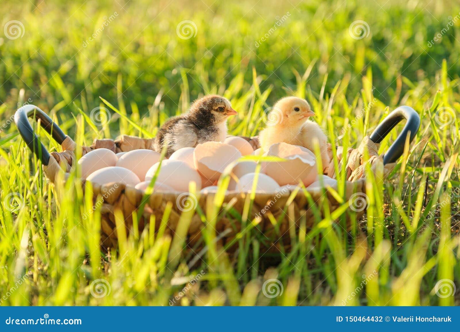 Kosz z naturalnymi świeżymi organicznie jajkami z dwa małymi nowonarodzonymi dziecko kurczakami, trawy natury tło