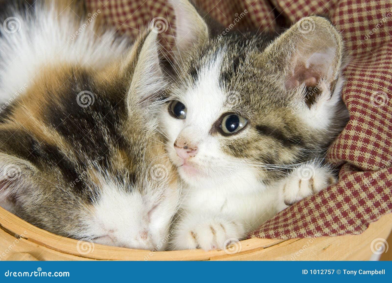 Koszykowe kociaki